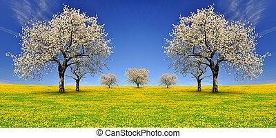 blooming cherry trees on dandelion field