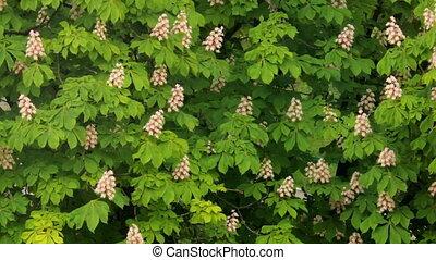 blooming chestnut b