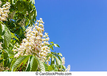 blooming chestnut flowers with leaves on background of the blue sky close up