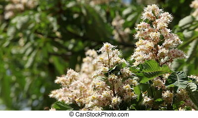 Blooming chestnut - Branches of a blooming chestnut tree....