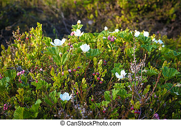 Blooming cloudberries in the North