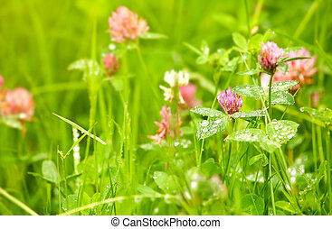 Blooming clover in green grass