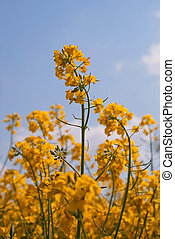 Blooming colza against blue sky