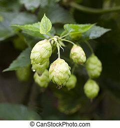 common hop