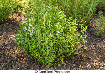 Blooming Common Thyme (Thymus vulgaris)