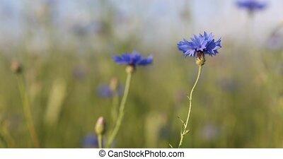 Blooming Cornflowers, Centaurea Cyanus - Beautiful blue...