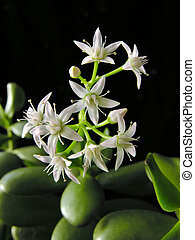 blooming Crassula Ovata - Money Tree against black background