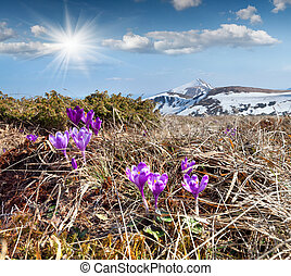 Blooming crocuses in the mountains at spring