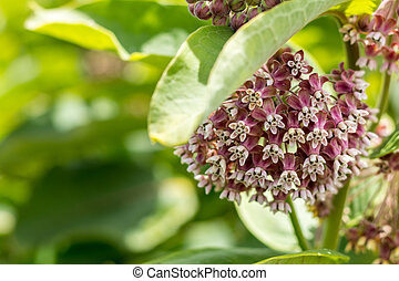 Blooming cultivate swamp Buddleja