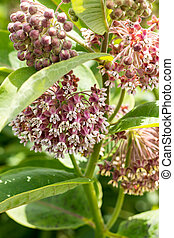 Blooming cultivate swamp milkweed Buddleja (Asclepias...