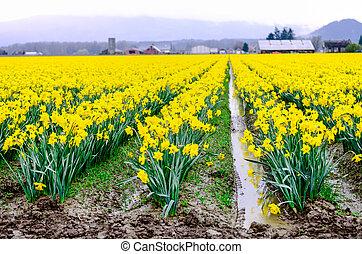 Blooming daffodil field reflection with farmland background in Skagit Valley, Washington, USA