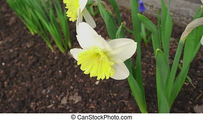 Blooming daffodil. - The first spring flowers - daffodils,...