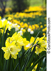 Blooming daffodils in spring park