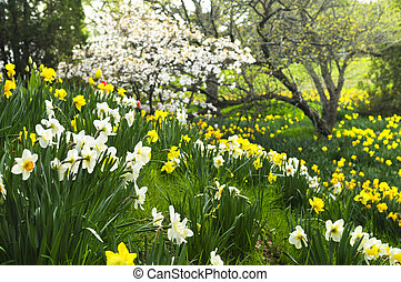 Blooming daffodils in spring park - Field of blooming ...