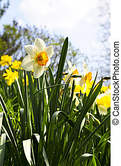 Blooming daffodils in spring park - Field of blooming...