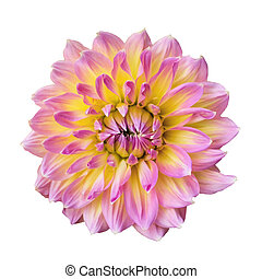 Blooming Dahlia flower isolated on white background.