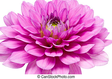 Blooming Dahlia, shot with large Depth of Field (DOF)