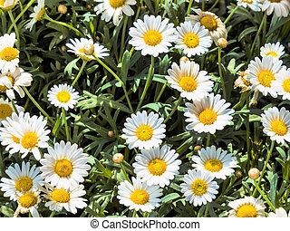 blooming, daisies