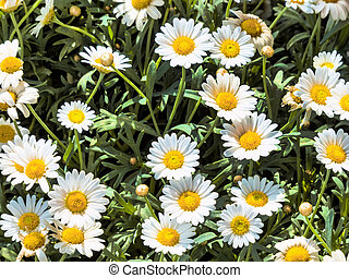 blooming daisies on a meadow in spring
