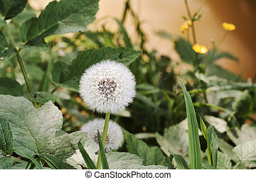 Blooming dandelion in grass and leaves on a meadow, on the riverbank