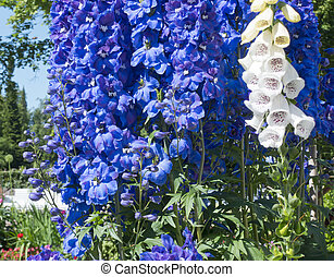 Blooming delphinium in the park