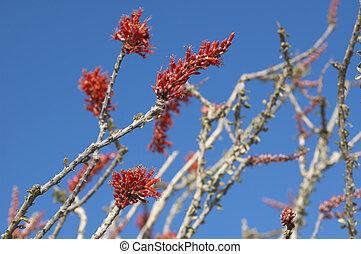 Blooming Desert Plant Ocotillo in Anza Borrego Desert, California (Fouquieria splendens, also called desert coral, coachwhip, Jacob's staff, and vine cactus)