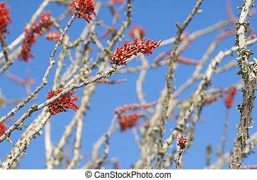 Blooming Desert Plant Ocotillo in Anza Borrego Desert, California