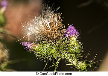 Blooming donkey thistle