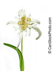 Blooming Edelweiss Flower (Leontopodium alpinum) on white background