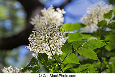 Blooming elder closeup in front of a blue sky