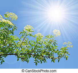 Blooming elderflower (Sambucus nigra) on the background...