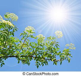Blooming elderflower (Sambucus nigra) on the background...