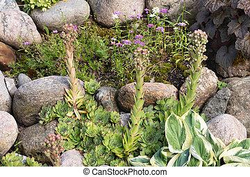 Blooming evergreen groundcover plant Sempervivum known as Houseleek in rockery
