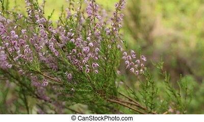Blooming evergreen Heather close to, camera motion