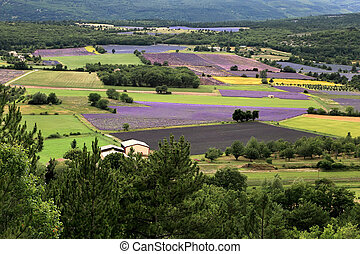 Blooming field of Lavender, Provence-Alpes-Cote d'Azur, Southern