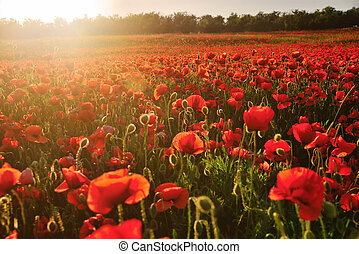 Blooming field of red poppies in the rays of sunset