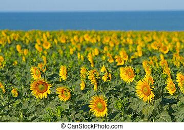 Blooming field with sunflowers on the sea