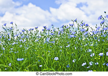 Blooming flax field - Field of many flowering flax plants ...
