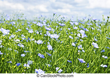 Blooming flax field - Field of many flowering flax plants...