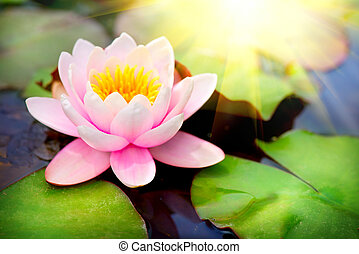 Blooming floating waterlilly closeup. Lotus flower in pond