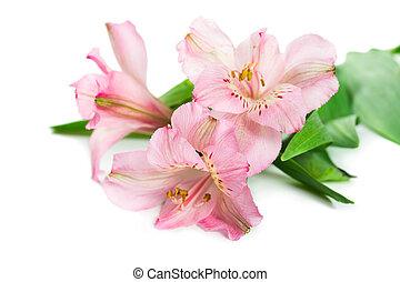 Blooming flower Alstroemeria