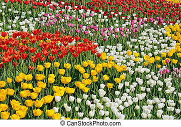 Blooming flower bed of various tulips