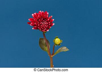 Blooming flower Dalia