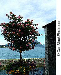 Digital photo of a blooming flower infront of the lake Lago Maggiore in italy