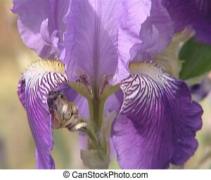 Blooming flower iris closeup.