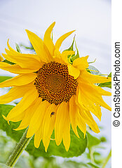 Blooming flower of a sunflower - agriculture.