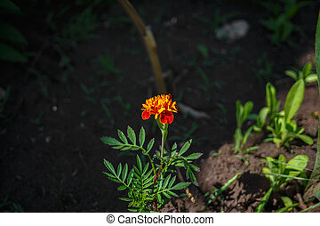 Orange Tagetes on the ground