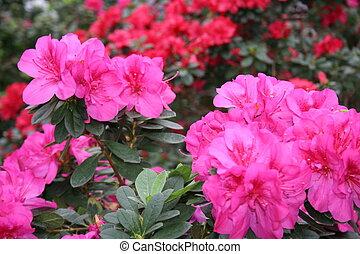 Blooming flowers - Azalea rhododendron in the garden