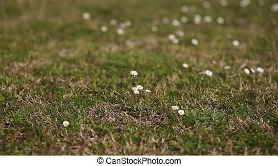 Blooming flowers daisies on green grass.