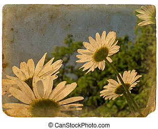 Blooming flowers of chamomile. Old postcard.